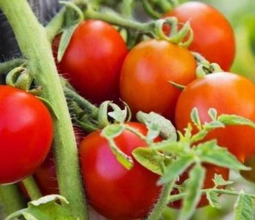 Pomidorun qiyməti yaxın günlərdə ucuzlaşacaq