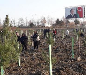 650 min ağacın əkilməsi İmadəddin Nəsiminin doğulduğu Şamaxıdan başlanıb