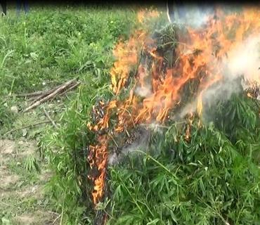 Şəkidə 1 tondan artıq narkotik tərkibli bitki məhv edilib