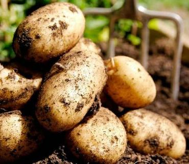 Naxçıvanda kartof istehsalı yanvar-avqustda 1,5% artıb