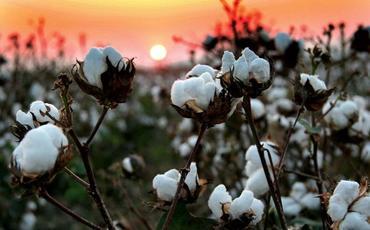 Azərbaycanda ötən il 337 min tona yaxın pambıq yığılıb